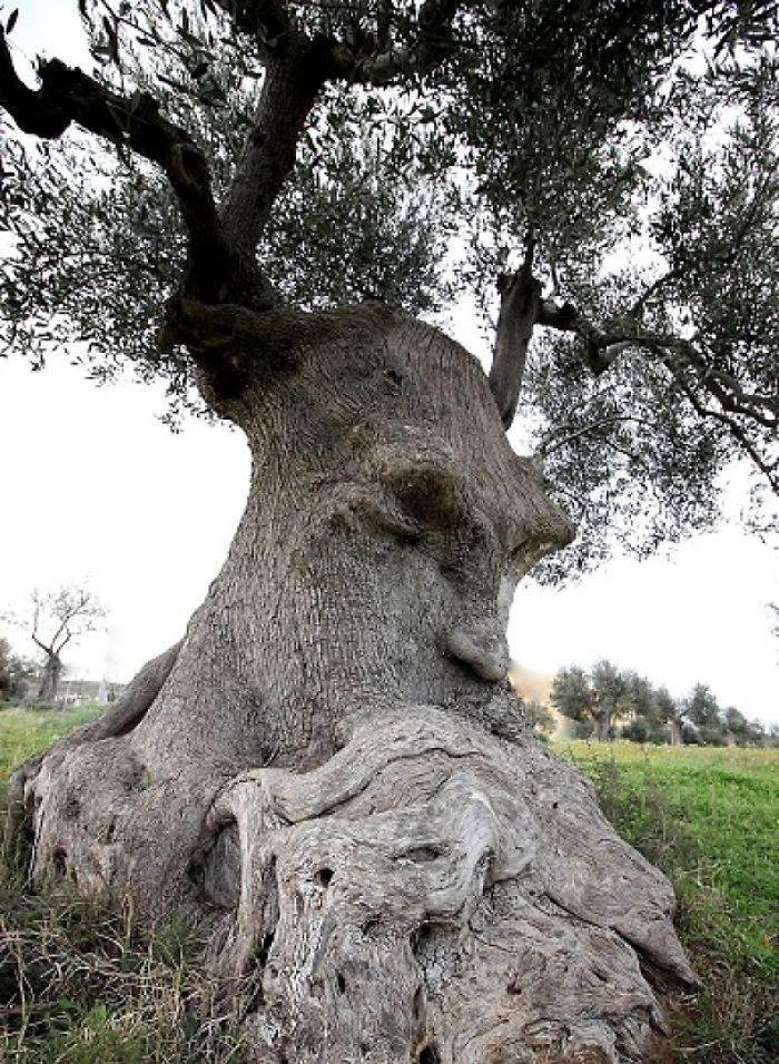 L'arbre pensant, à Pouilles, en Italie