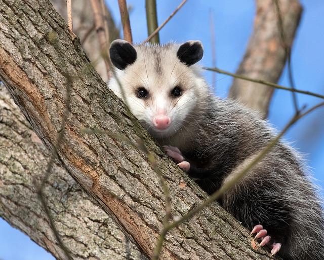méli-mélo : l'opossum, un allié contre lestiques?