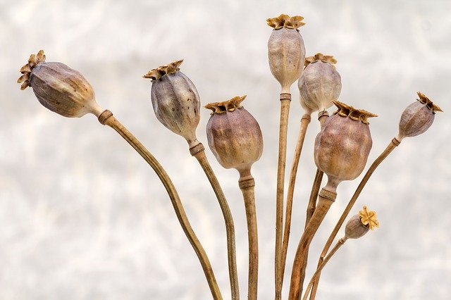 poppy-651036_640